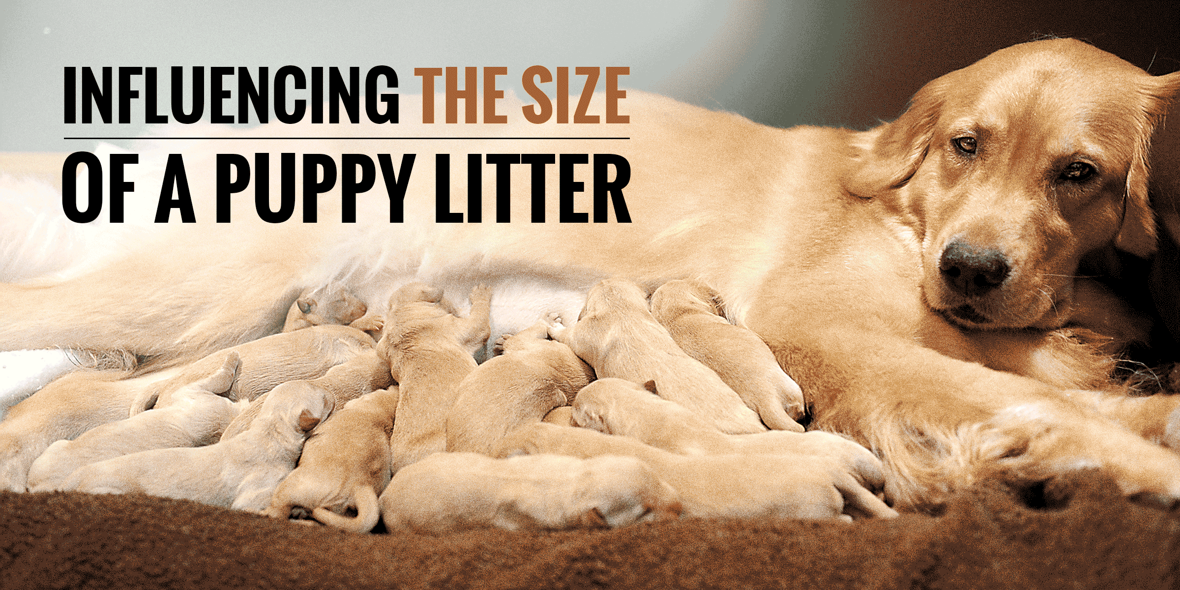 What Influences The Size Of A Puppy Litter