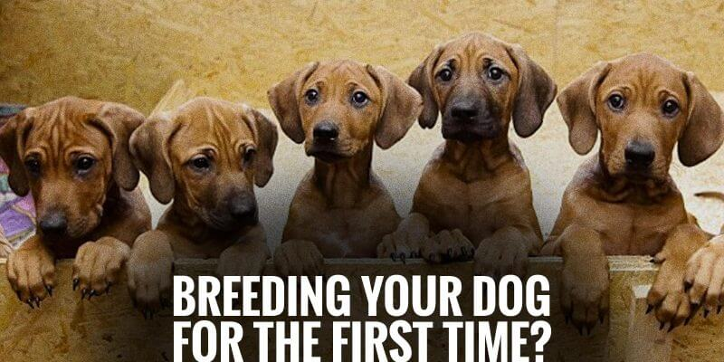 Breeding Your Dog For The First Time