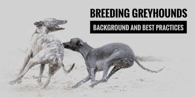 greyhound dog breeding