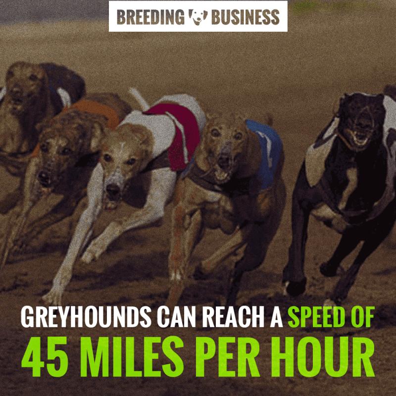 speed when breeding greyhounds