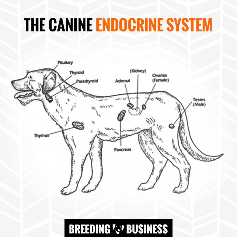 Diagram of the hormonal glands in the dog endocrine system.