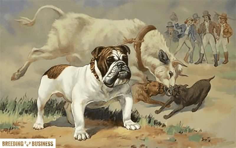 English Bulldogs and Bull-Baiting