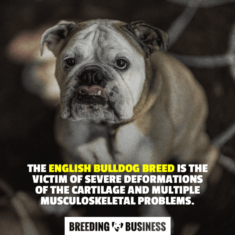 Chondrodysplasia makes English Bulldogs prone to painful structural problems.