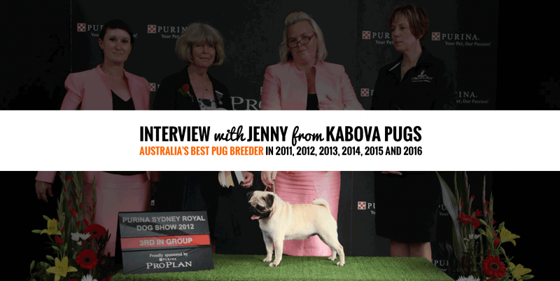 Interview with Jenny Williams from Kabova Pugs — Champion Pug Breeder