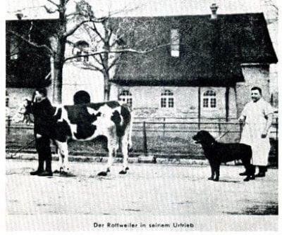 rottweiler as butcher dogs
