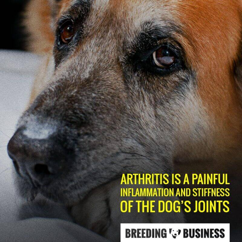 Definition of arthritis in dogs.