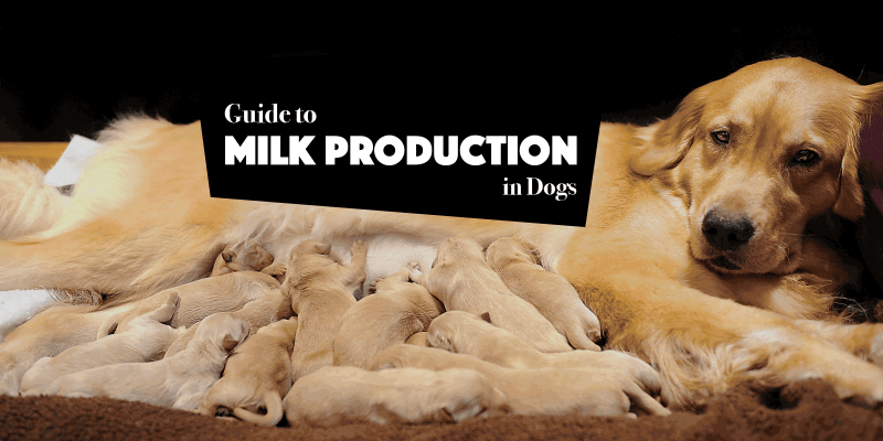 Milk Production and Lactating Dogs