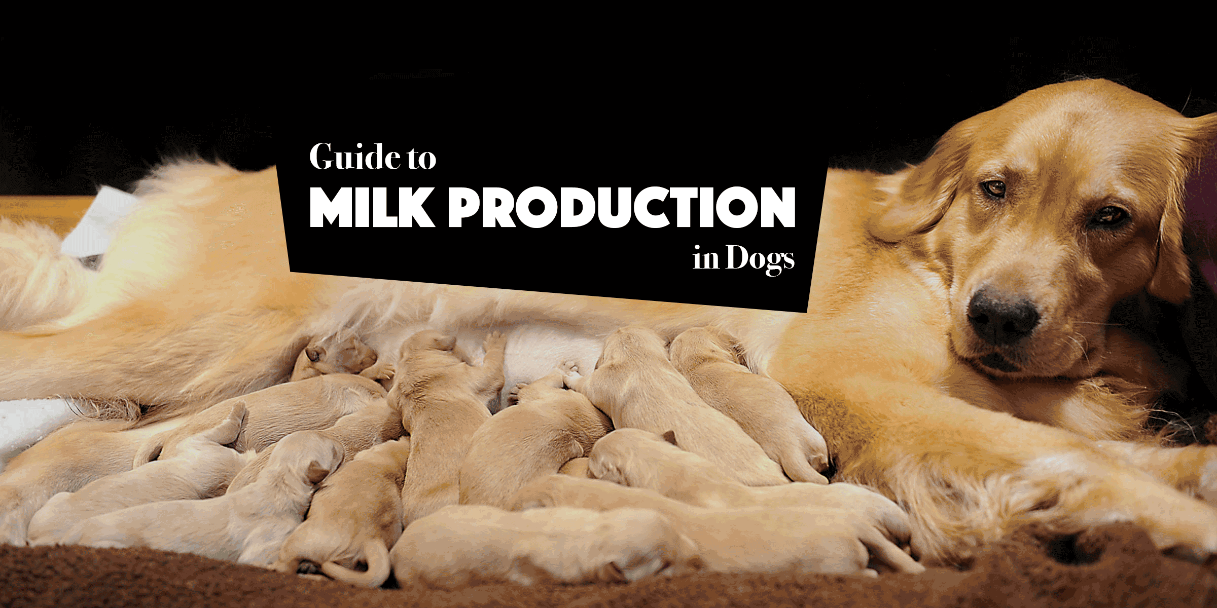 Guide To Lactating Dogs Milk Production And Lactation Failure