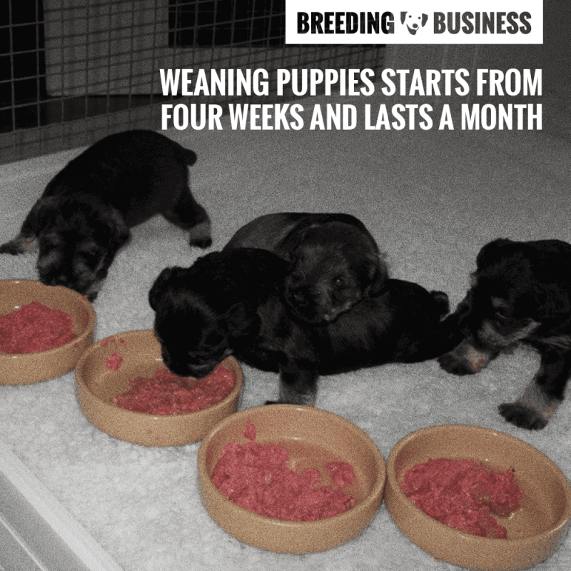 Weaning puppies eating raw ground beef.