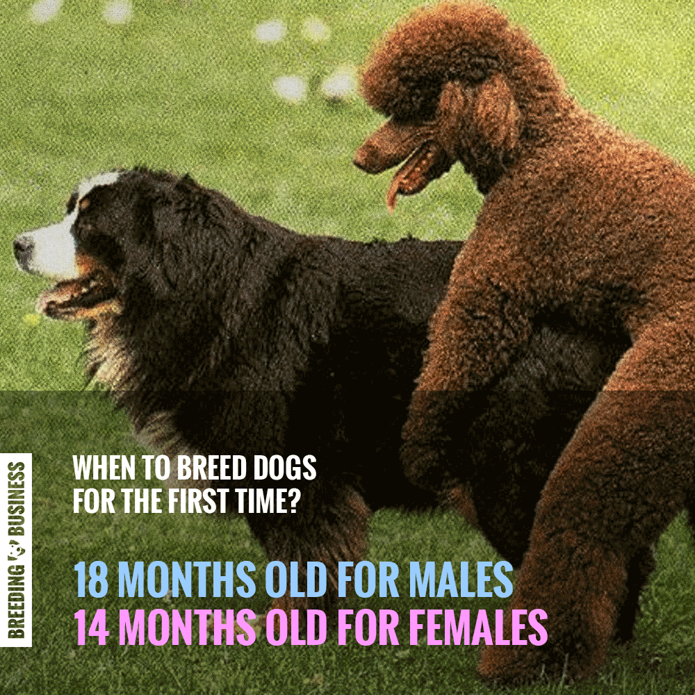 recommended ages for a first dog breeding