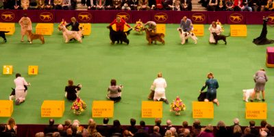attending dog shows