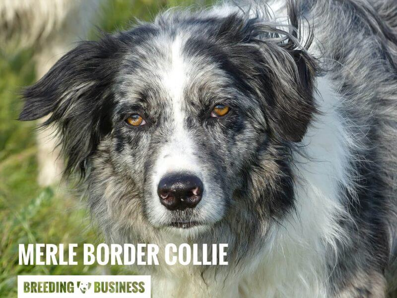 Example of a Blue Merle Border Collie