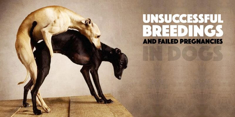 failed pregnancy and unsuccessful breeding in dogs