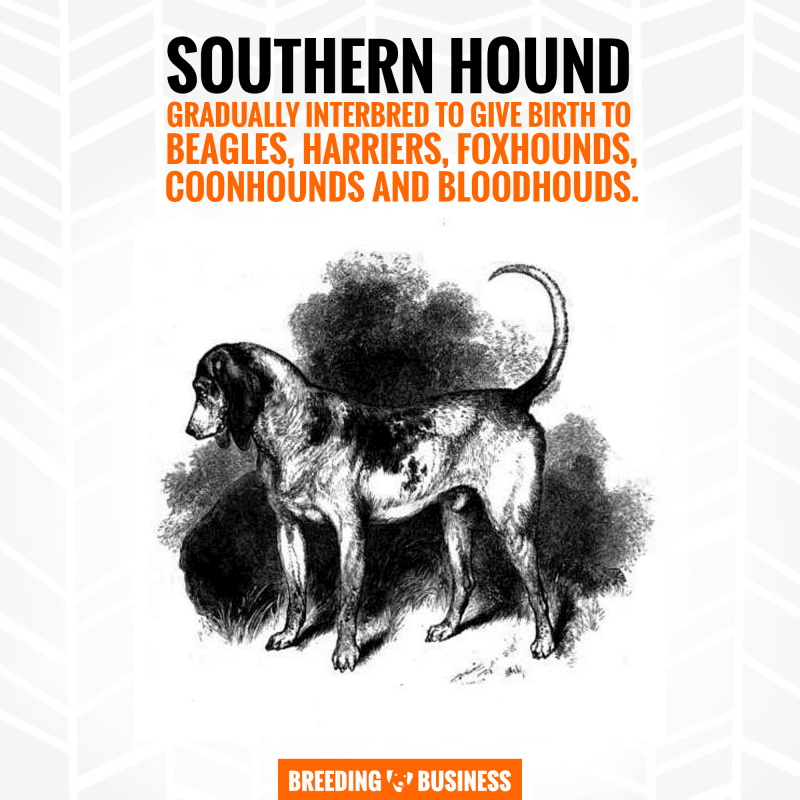 southern hound and beagle
