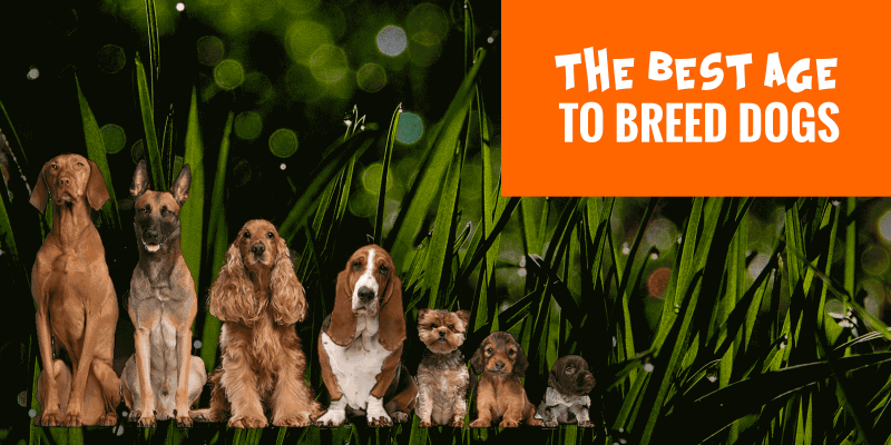 When Is The Best Age To Breed Dogs?