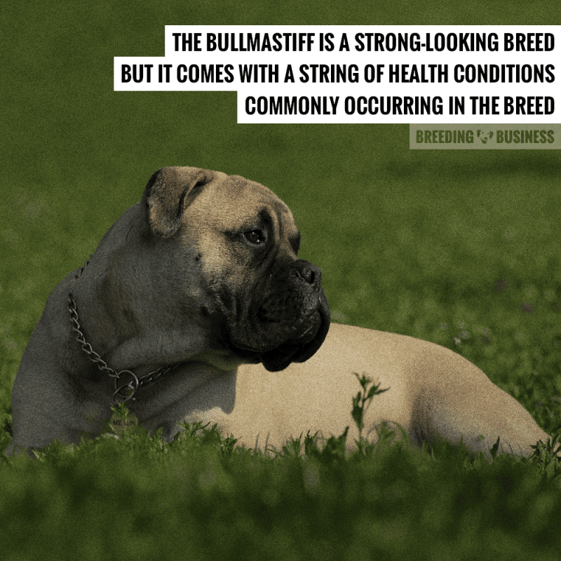 breeding healthy bullmastiffs