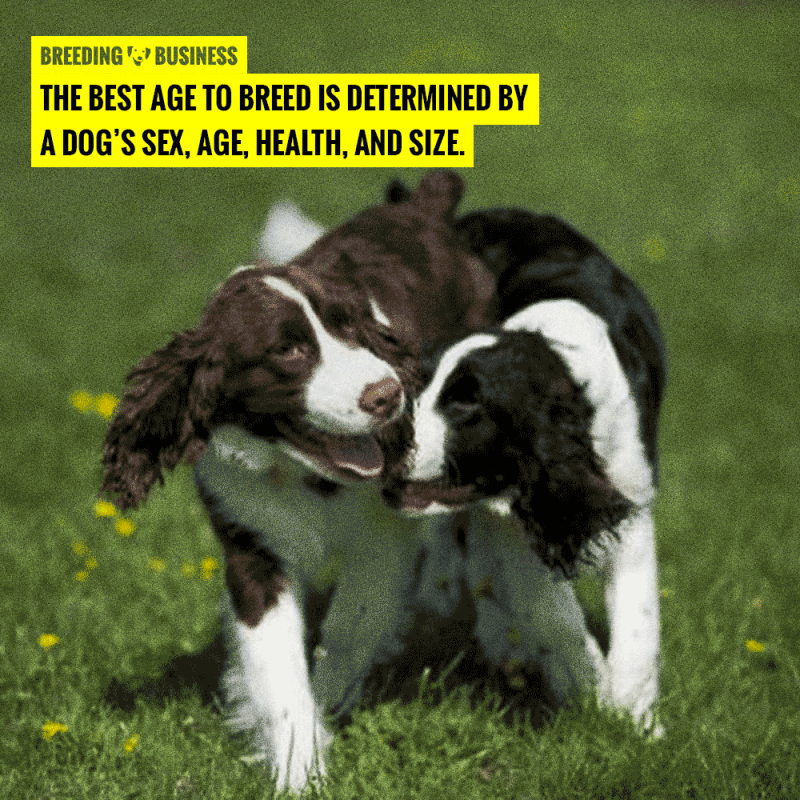 best age for breeding dogs