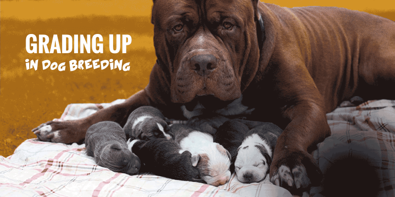 Grading Up in Dog Breeding