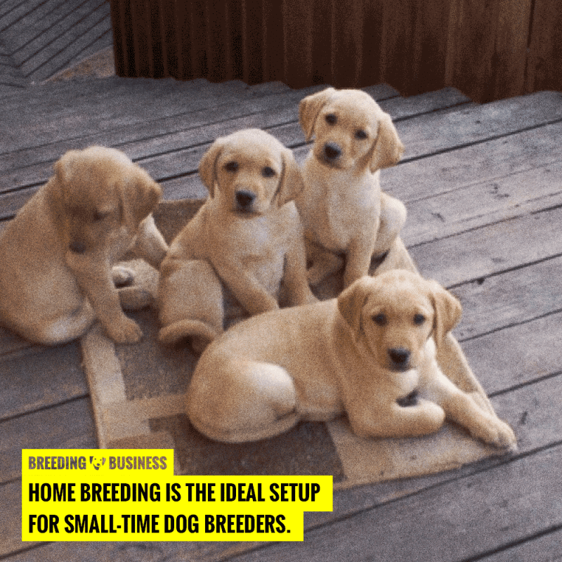 dog breeding at home