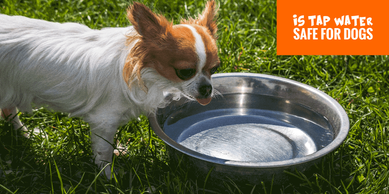 Is Tap Water Safe For Dogs To Drink?