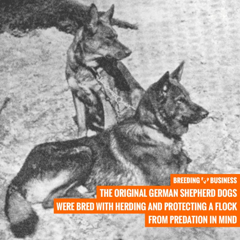 Horand von Grafrath (German Shepherd)