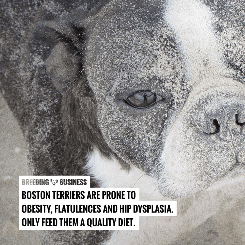 feeding and breeding boston terrier