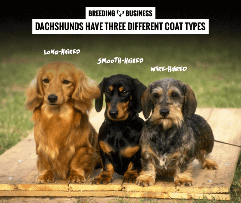 dachshund coat types