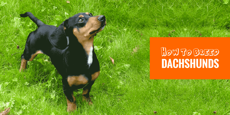 Guide to Breeding Dachshunds