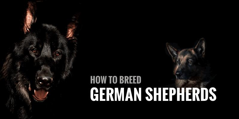 How To Breed German Shepherds