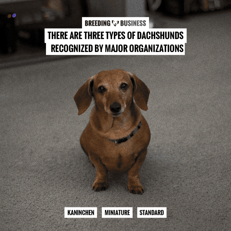 different types of dachshund dogs