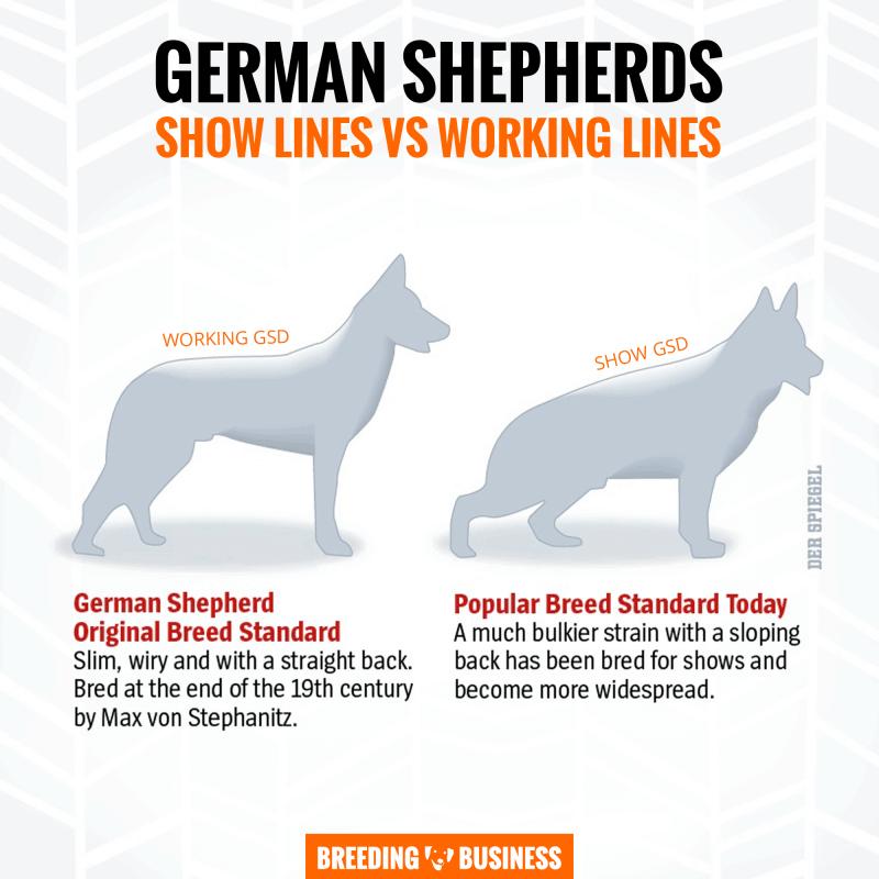 working vs showing german shepherds