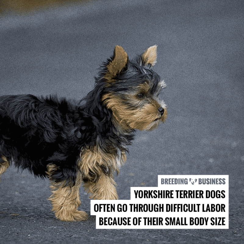 yorkshire terrier breeding difficulties