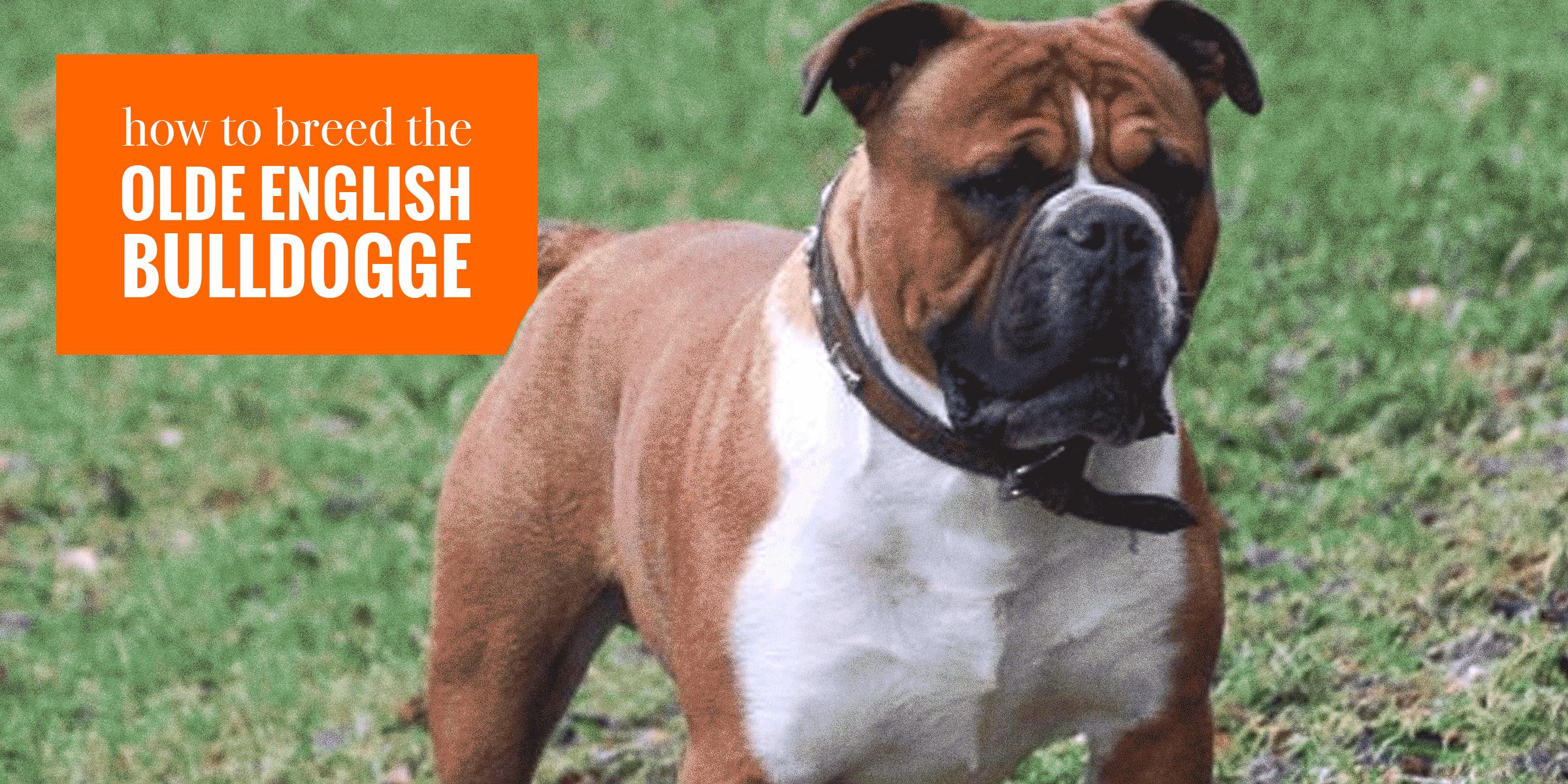 Breeding Olde English Bulldogge Dogs Health Litter Management
