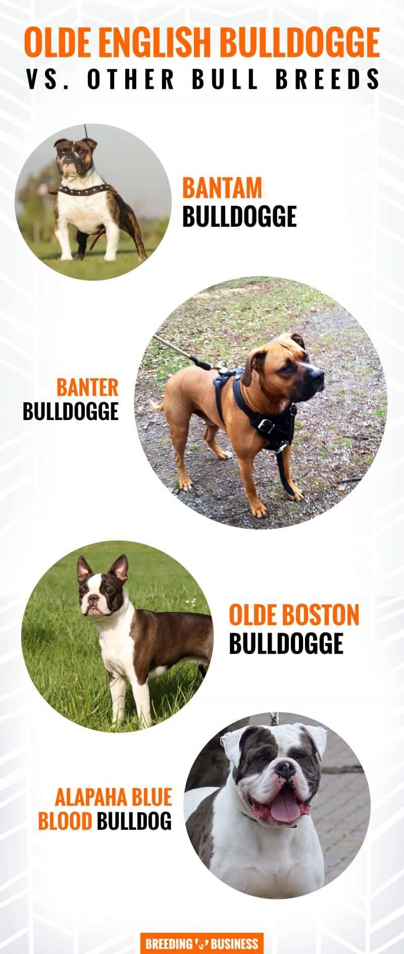 Olde English Bulldogge breeds