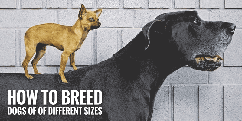How to Breed Dogs of Different Sizes