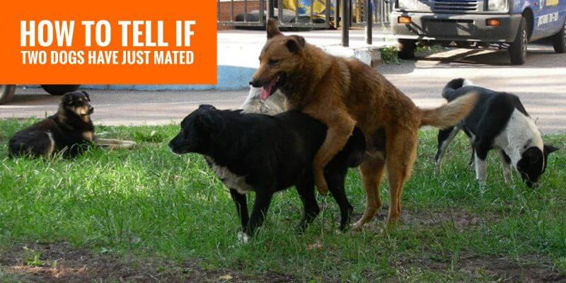 How do I know if my dog has mated?