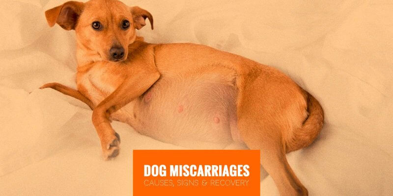 Dog Miscarriages