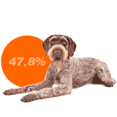 German Wirehaired Pointer c-sections