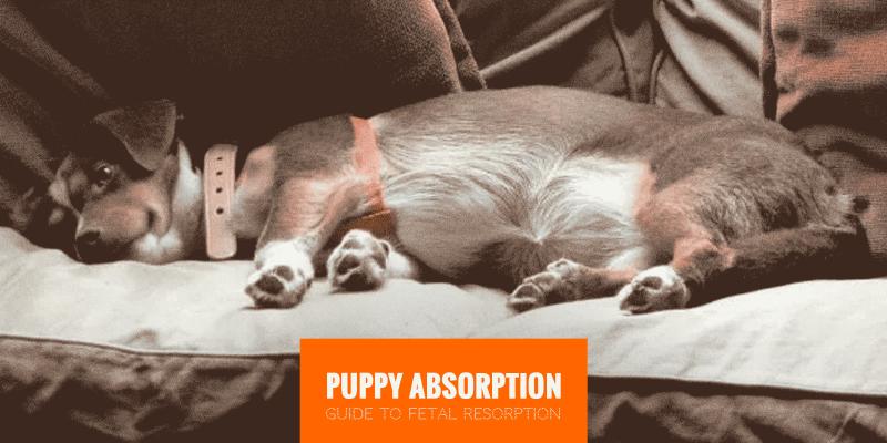 Puppy Absorption (Canine Fetal Resorption)