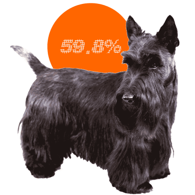 Scottish Terrier c-sections