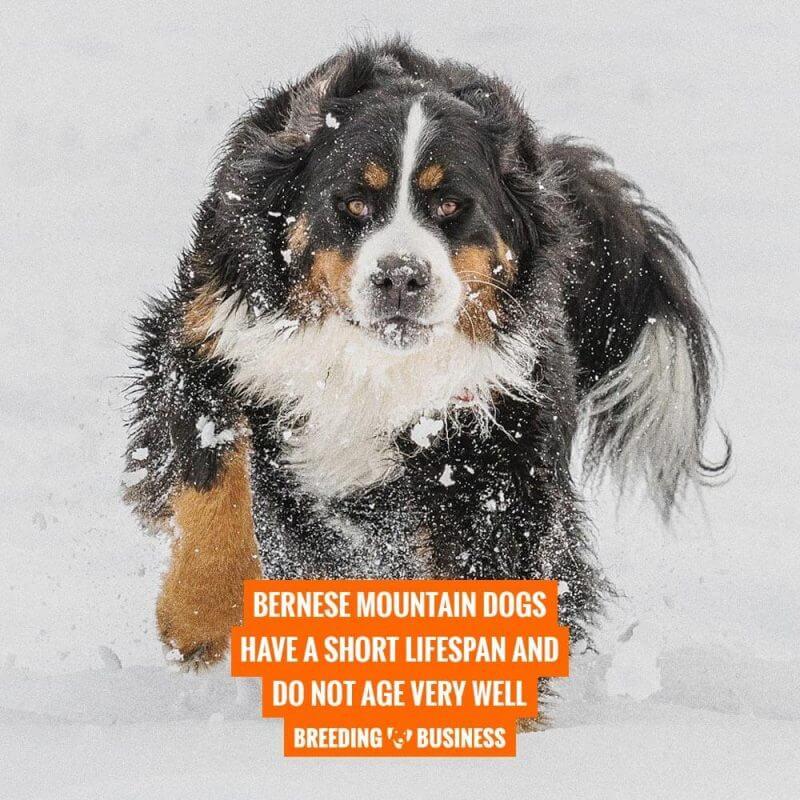 bernese mountain dogs lifespan
