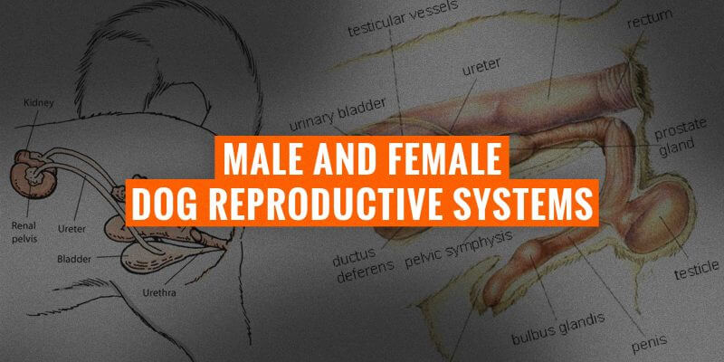 dog reproductive systems