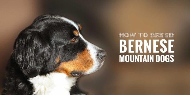 How To Breed Bernese Mountain Dogs — FREE GUIDE!