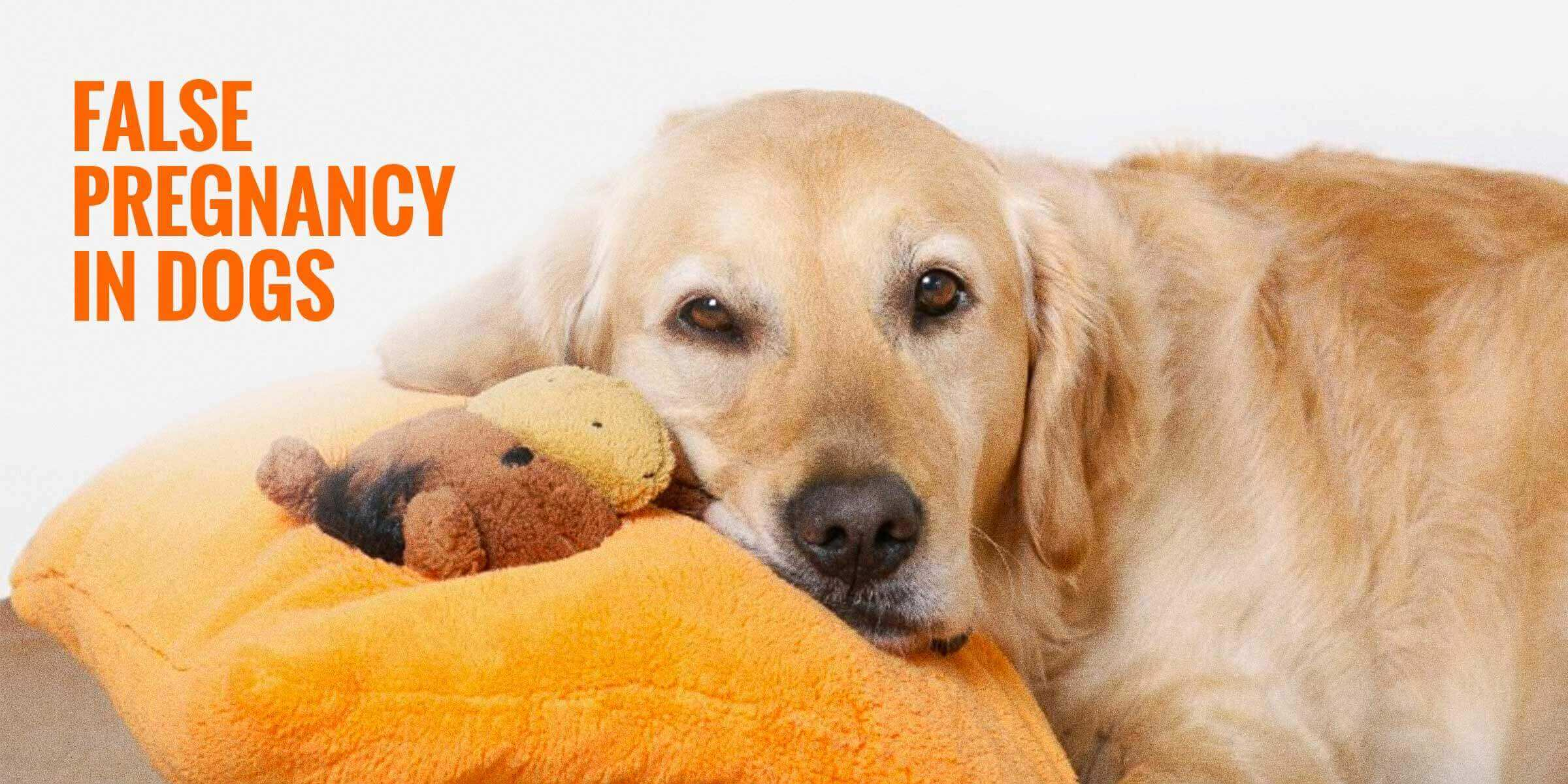 False Pregnancies In Dogs Symptoms Signs Risks Treatment