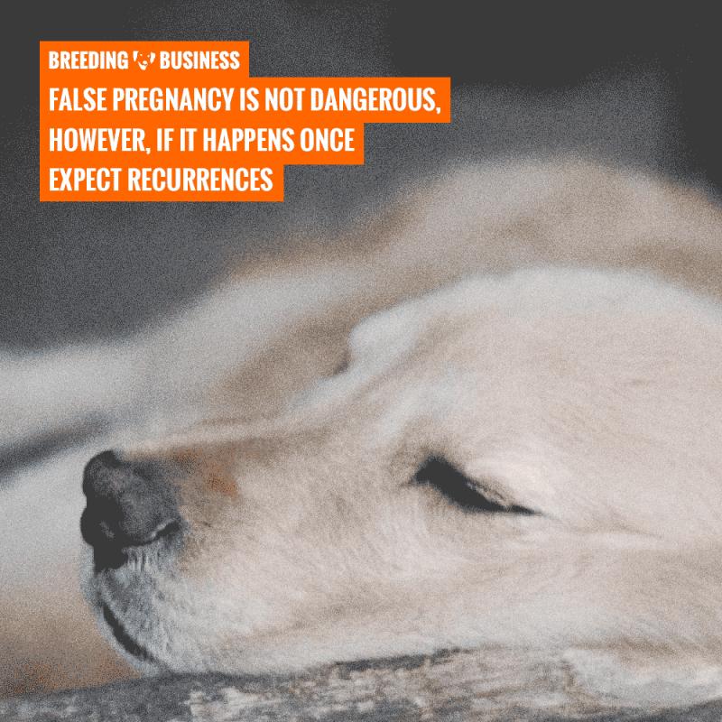 dangers of phantom pregnancies in dogs