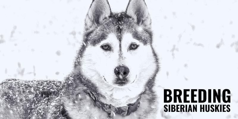 How to Breed Siberian Huskies