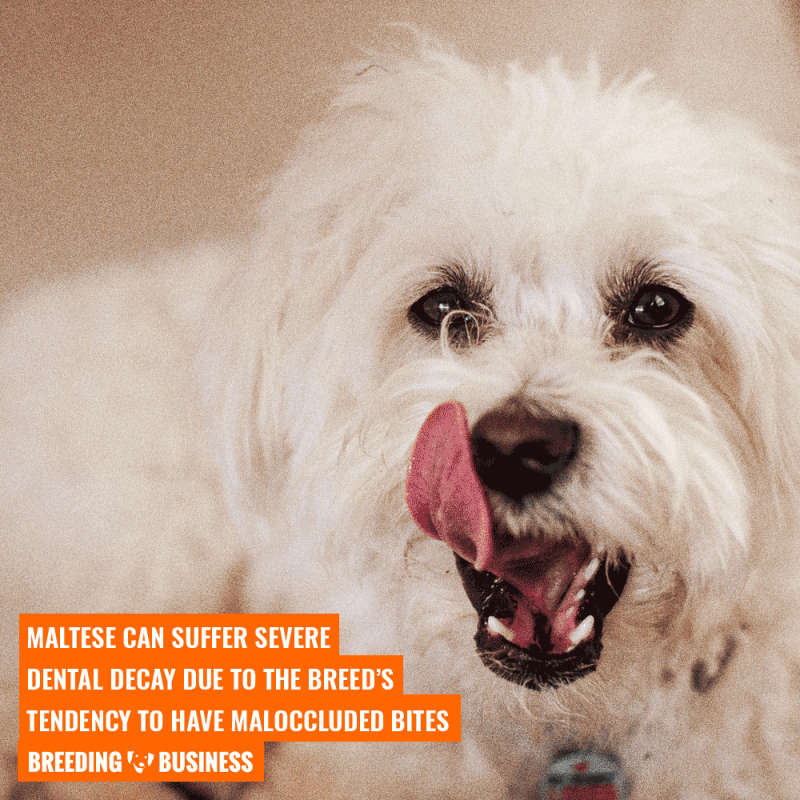 tooth decay in maltese dogs