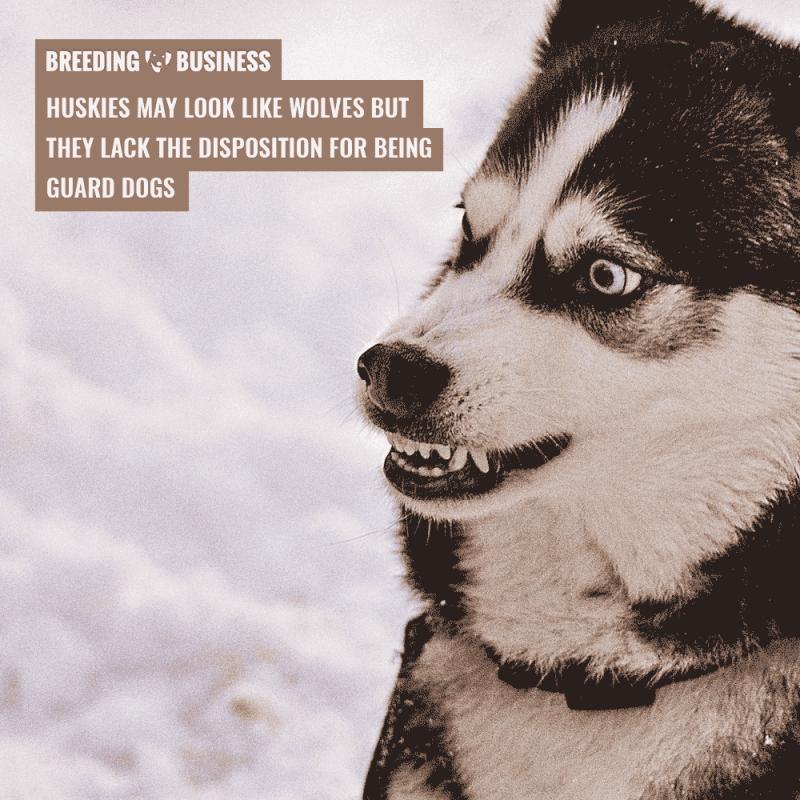 husky as guard dog