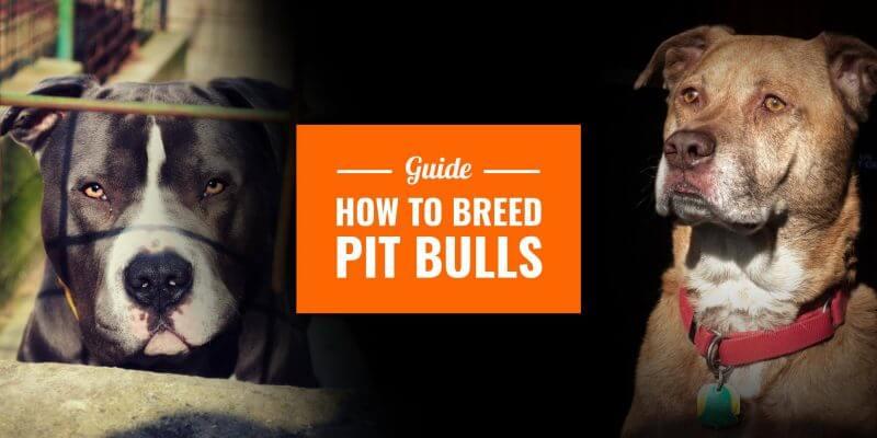 How To Breed Pitbulls