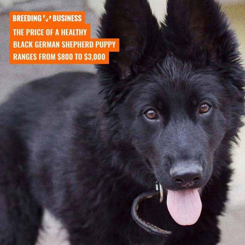 Price of a Black German Shepherd Puppy